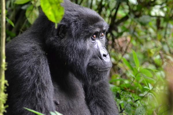 gorilla-3944127_1920